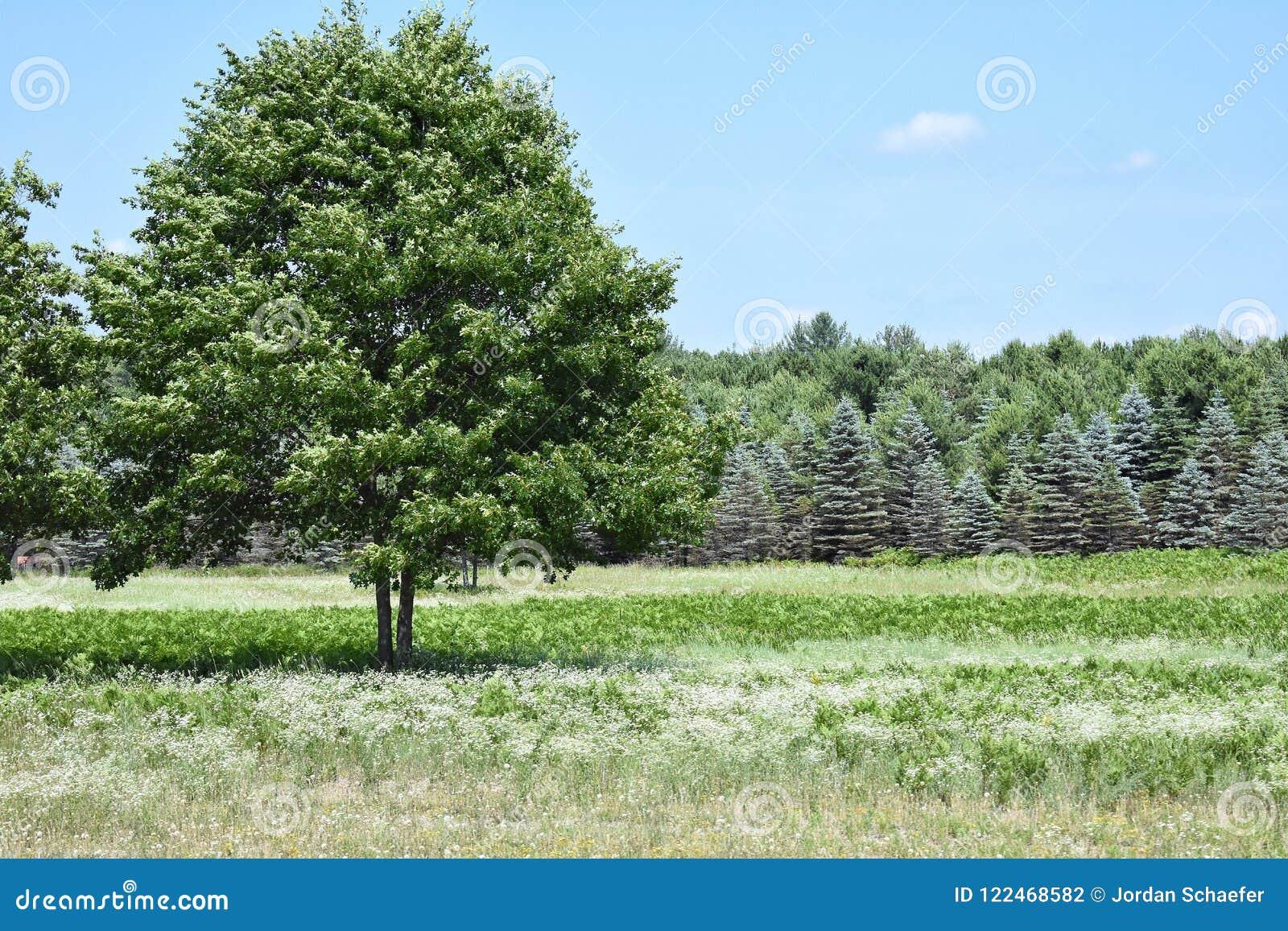 Boom in een weiland door Kerstbomen wordt gevoerd die