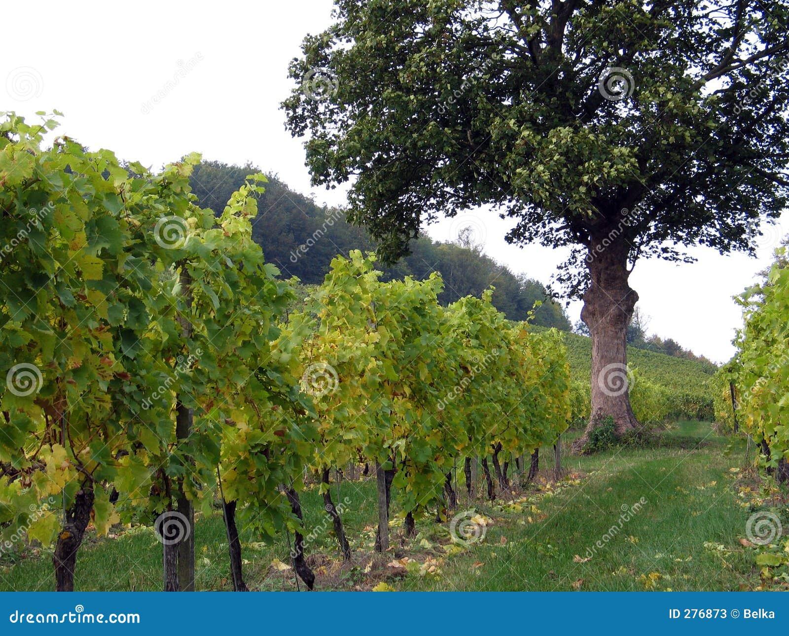Boom in een wijngaard