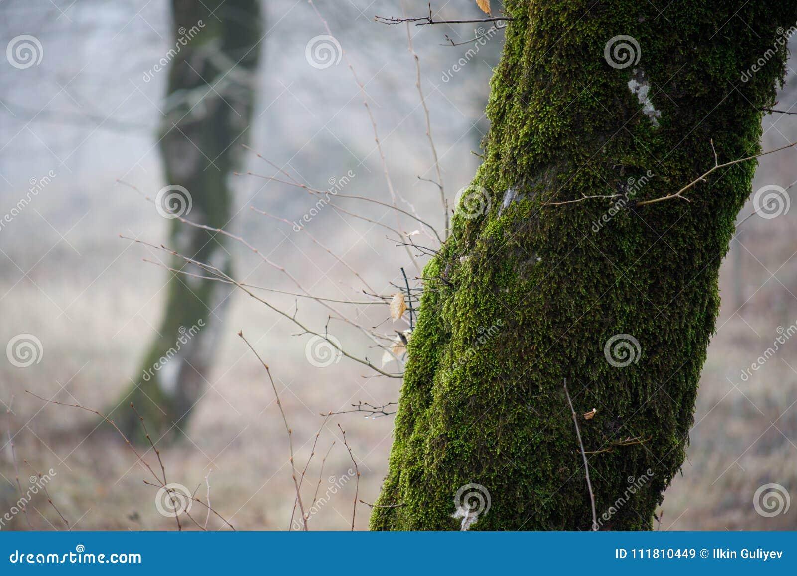 Boom met mos op wortels in een groen bos of mos op boomboomstam Boomschors met groen mos De aard van Azerbeidzjan