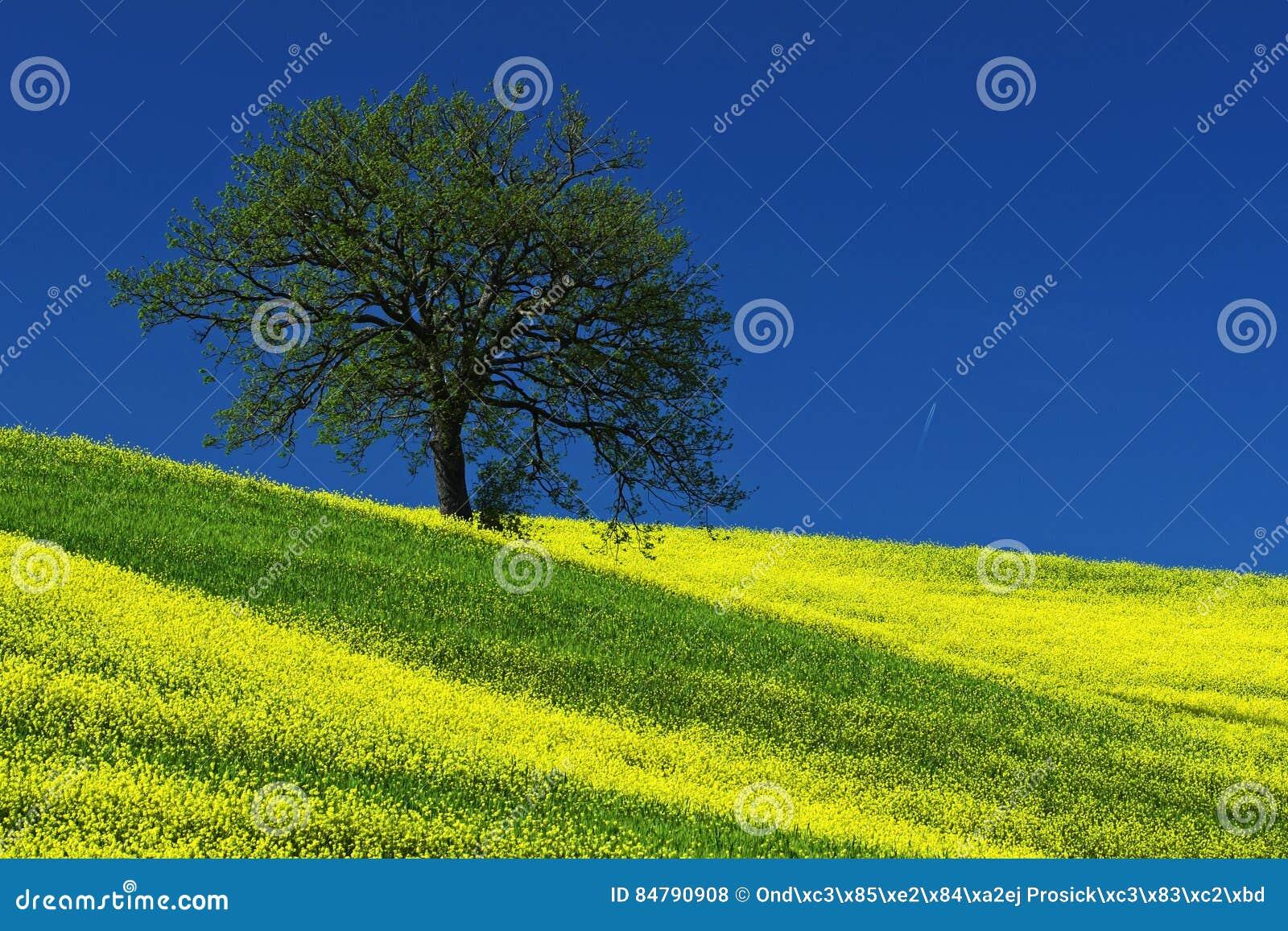 Boom op het gele bloemgebied met duidelijke blauwe hemel, Toscanië, Italië