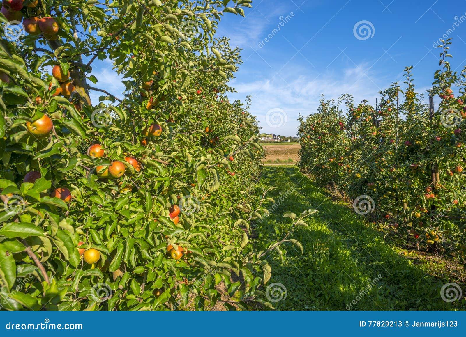 Boomgaard met appelbomen op een gebied