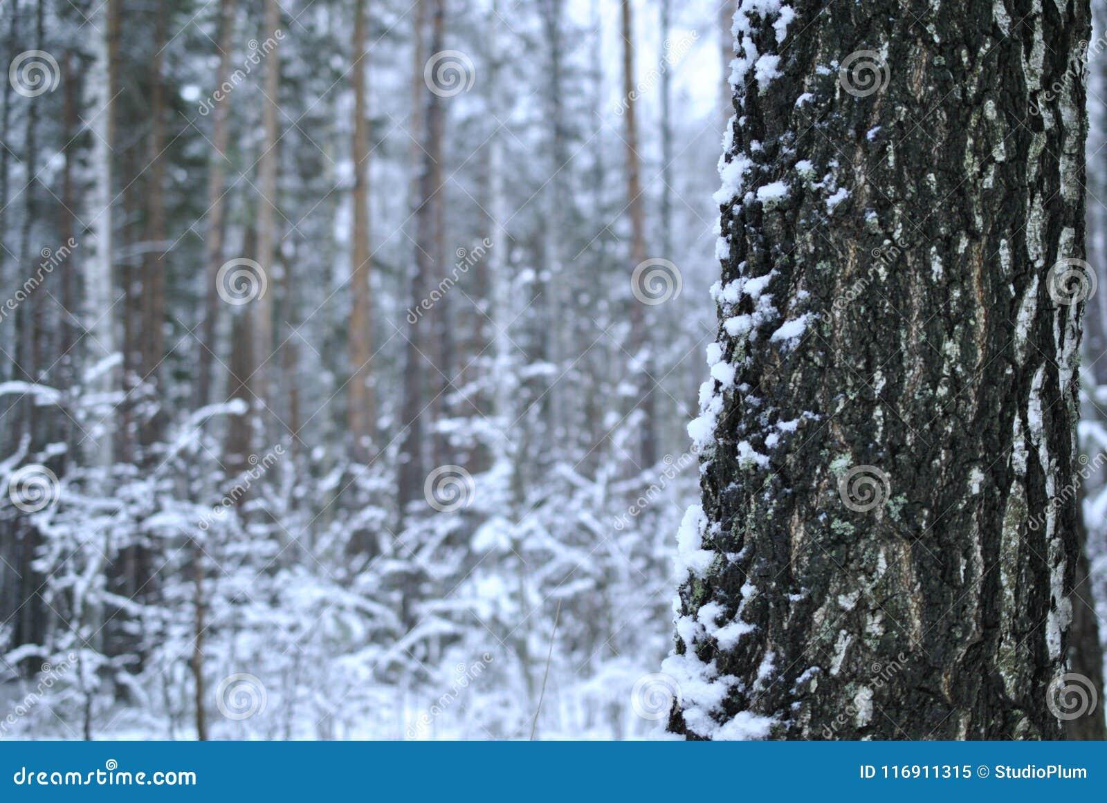 Boomstam van een berkboom in de winter