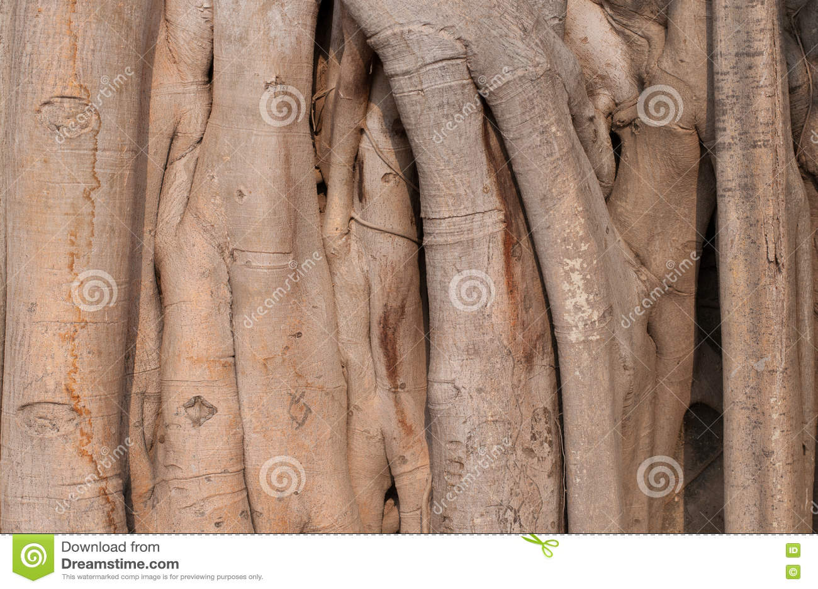 Bakstenen Binnenmuur Behandelen : Boomstamwortels die van ficus een bakstenen muur behandelen stock