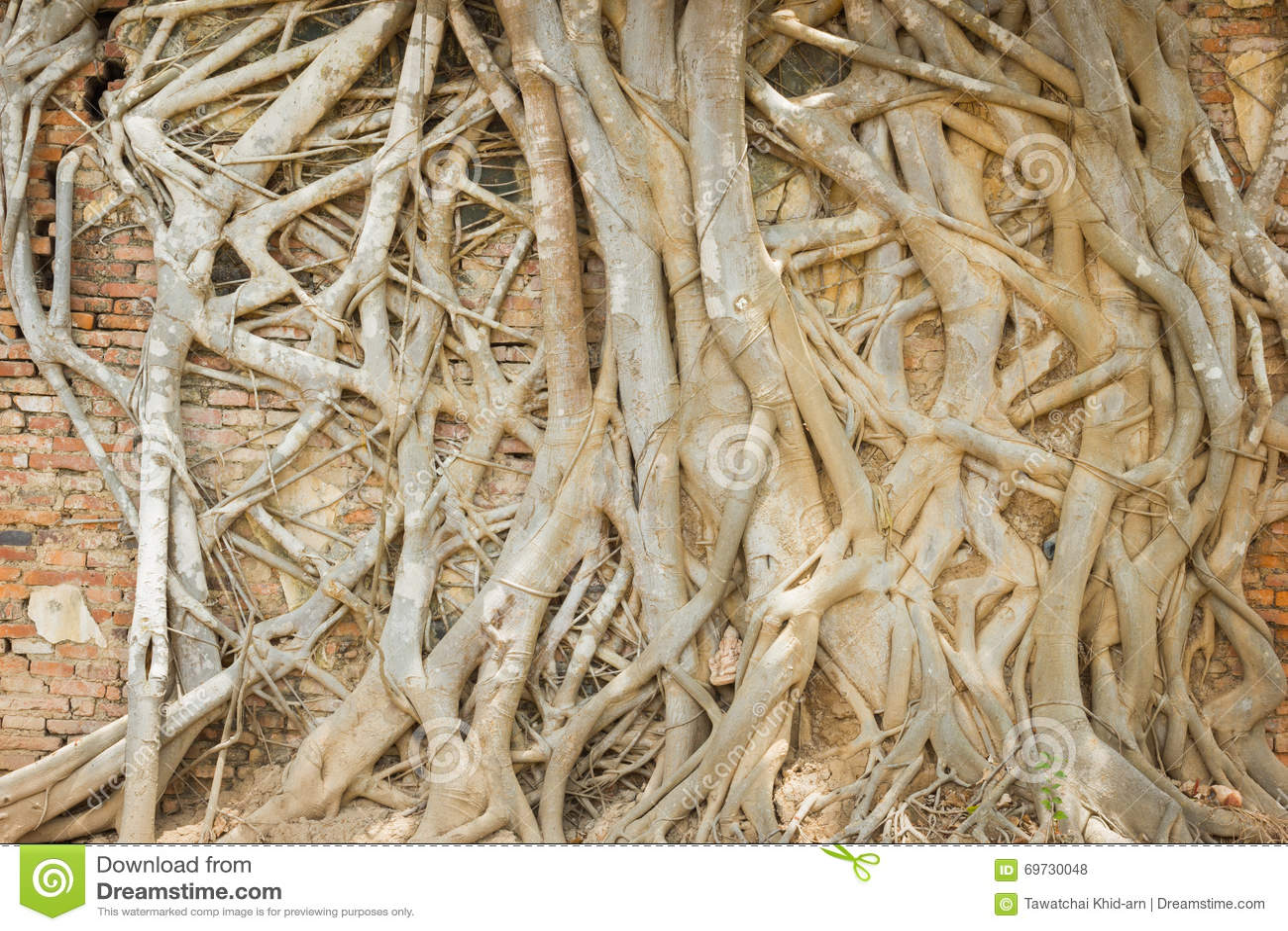 Bakstenen Binnenmuur Behandelen : Boomwortel die de oude bakstenen muur in tempel thailand