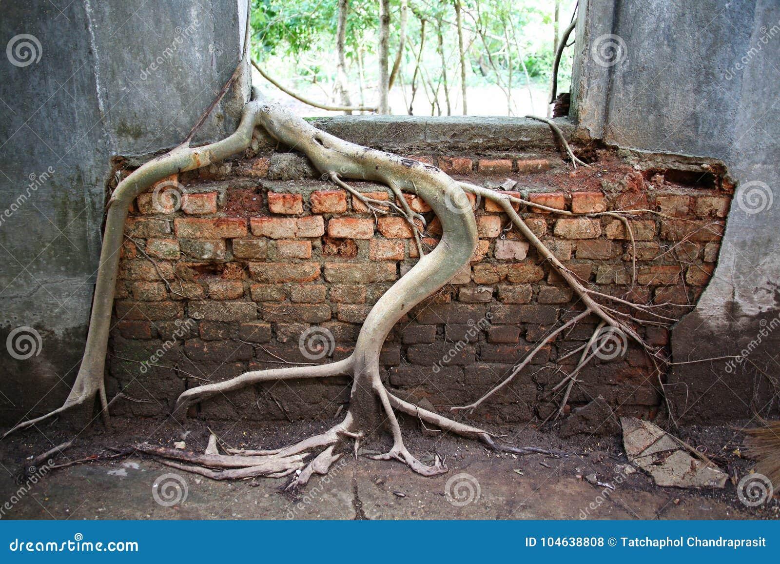 Download Boomwortel Op De Oude Tempelmuur Stock Foto - Afbeelding bestaande uit life, decoratief: 104638808