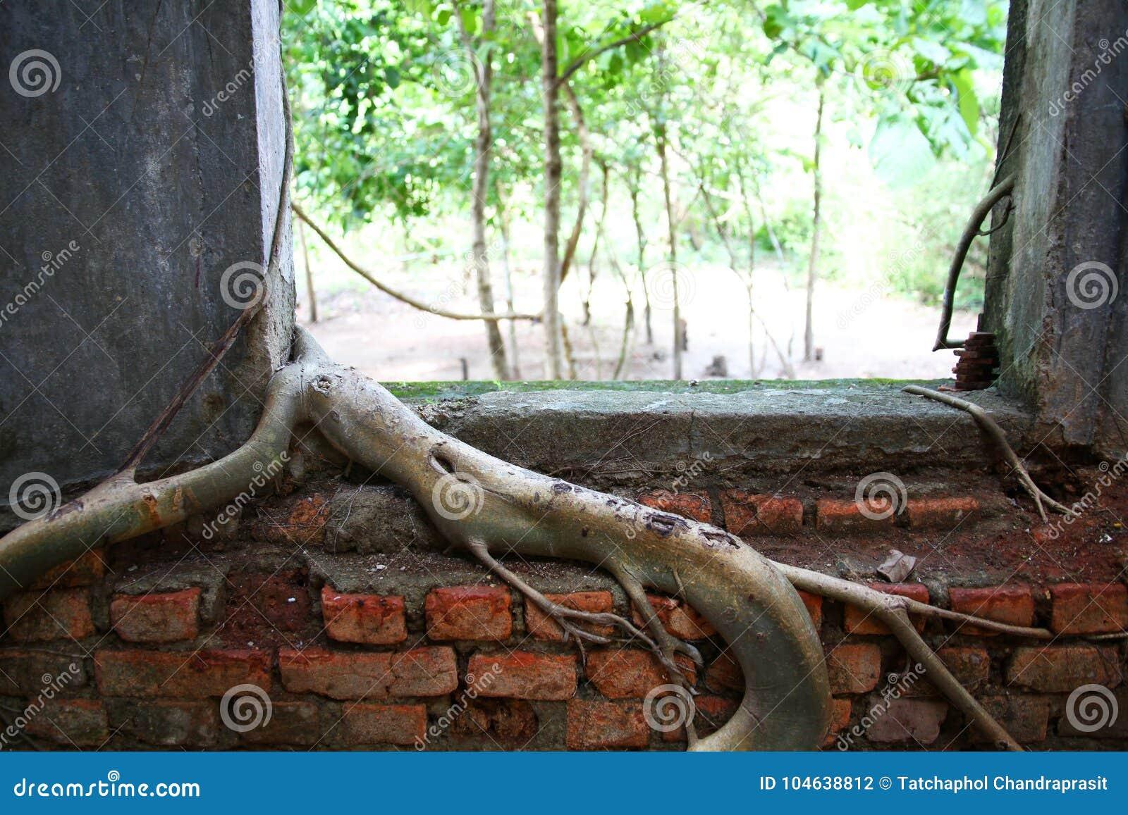 Download Boomwortel Op De Oude Tempelmuur Stock Foto - Afbeelding bestaande uit beschadigd, tuin: 104638812