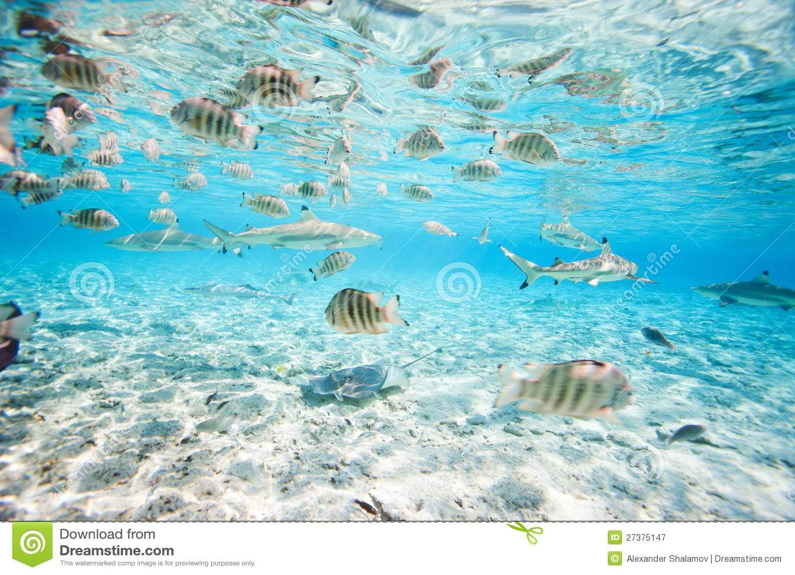 bora bora underwater royalty free stock photography stingray clipart black stingray clipart black and white