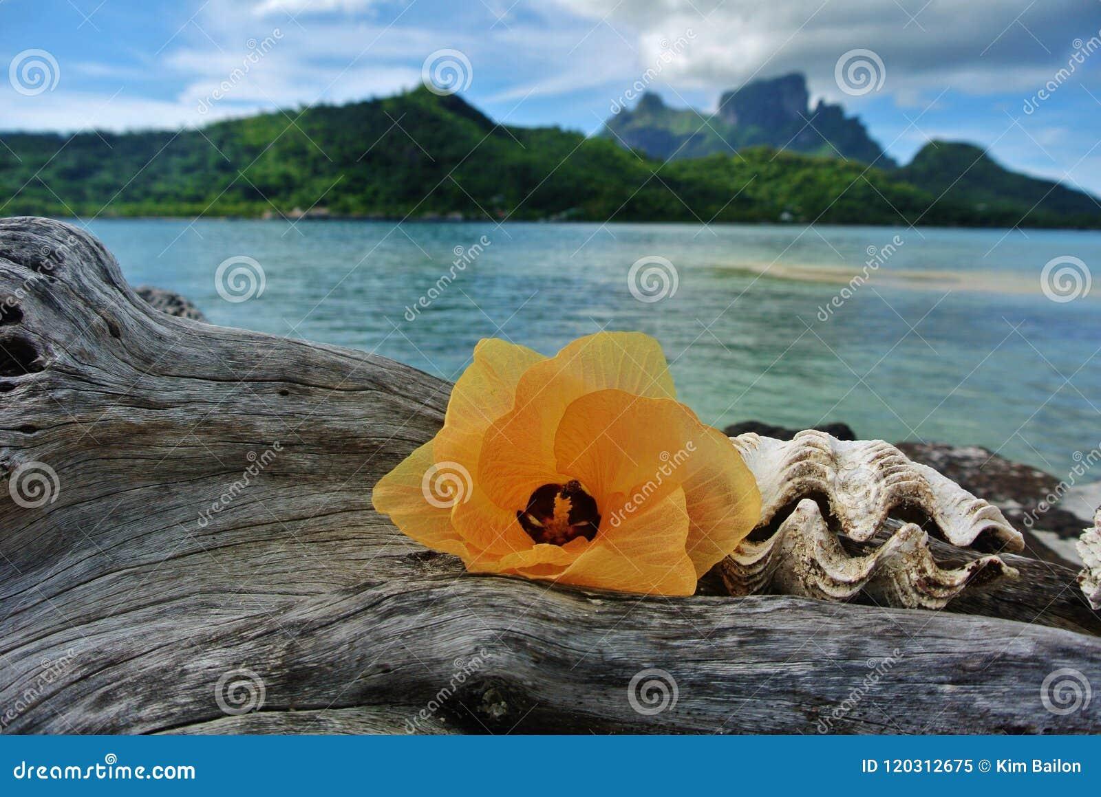 Bora Bora, fleur et coquillage sur le bois de flottage