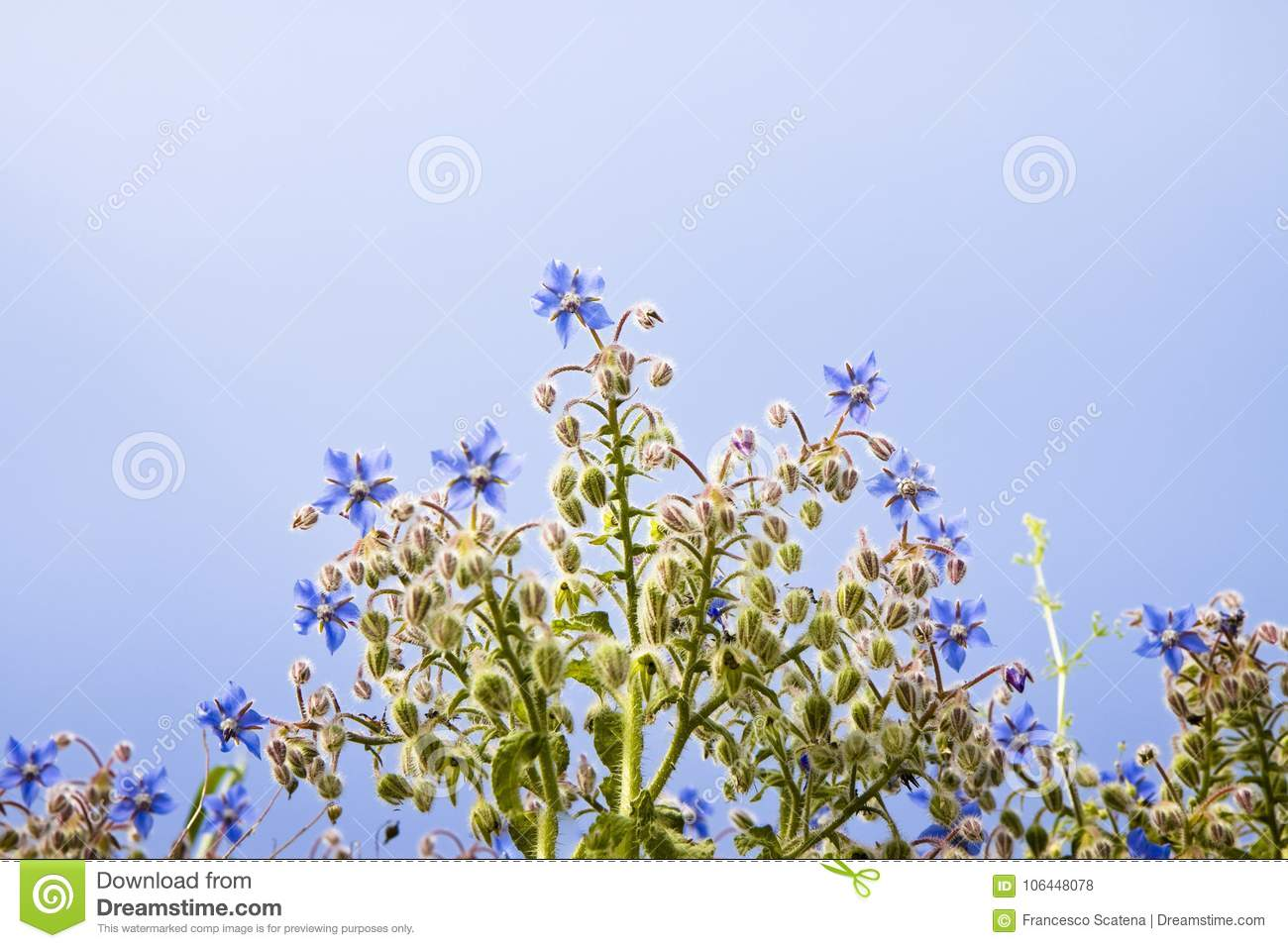 Borage Plants With Blue Flowers Stock Photo Image Of Plant