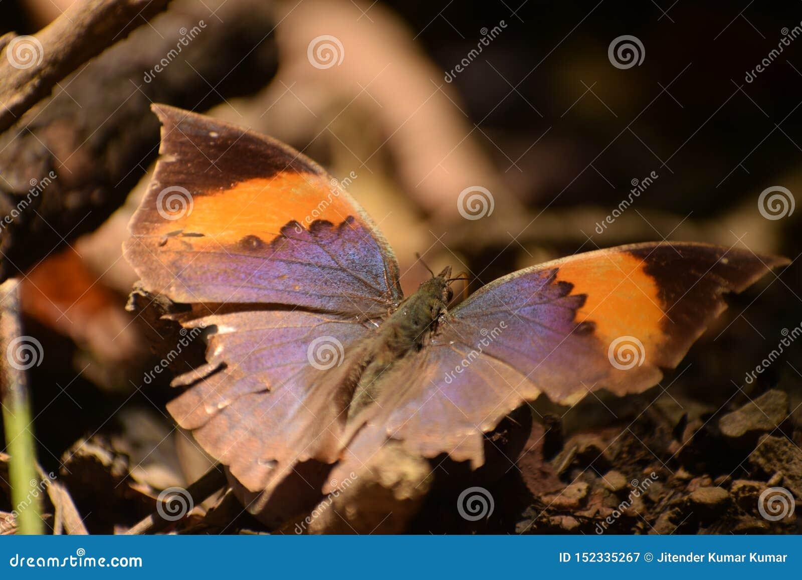 Borboleta alaranjada bonita do inachus do kallima do oakleaf