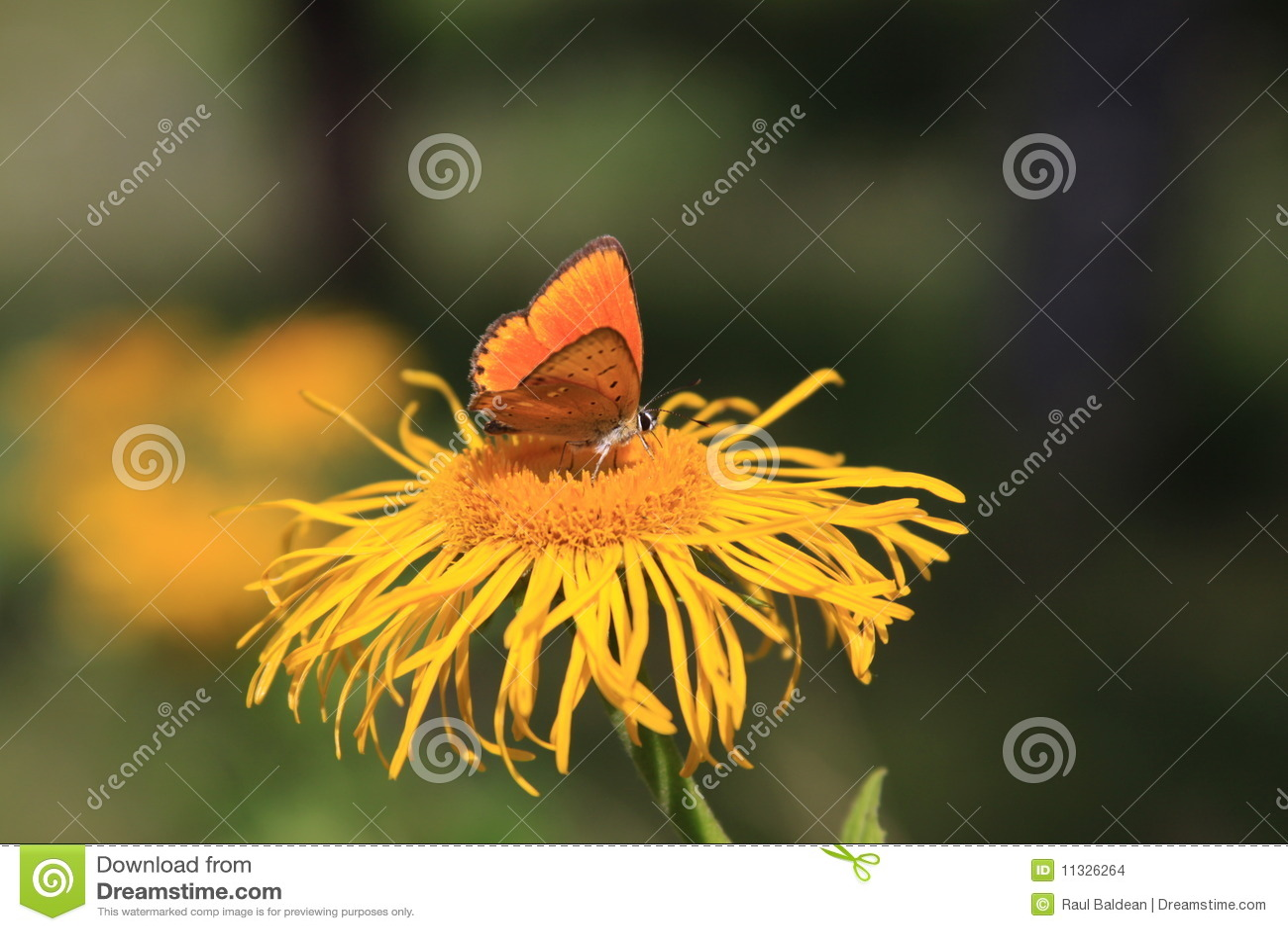 Borboleta alaranjada na flor amarela