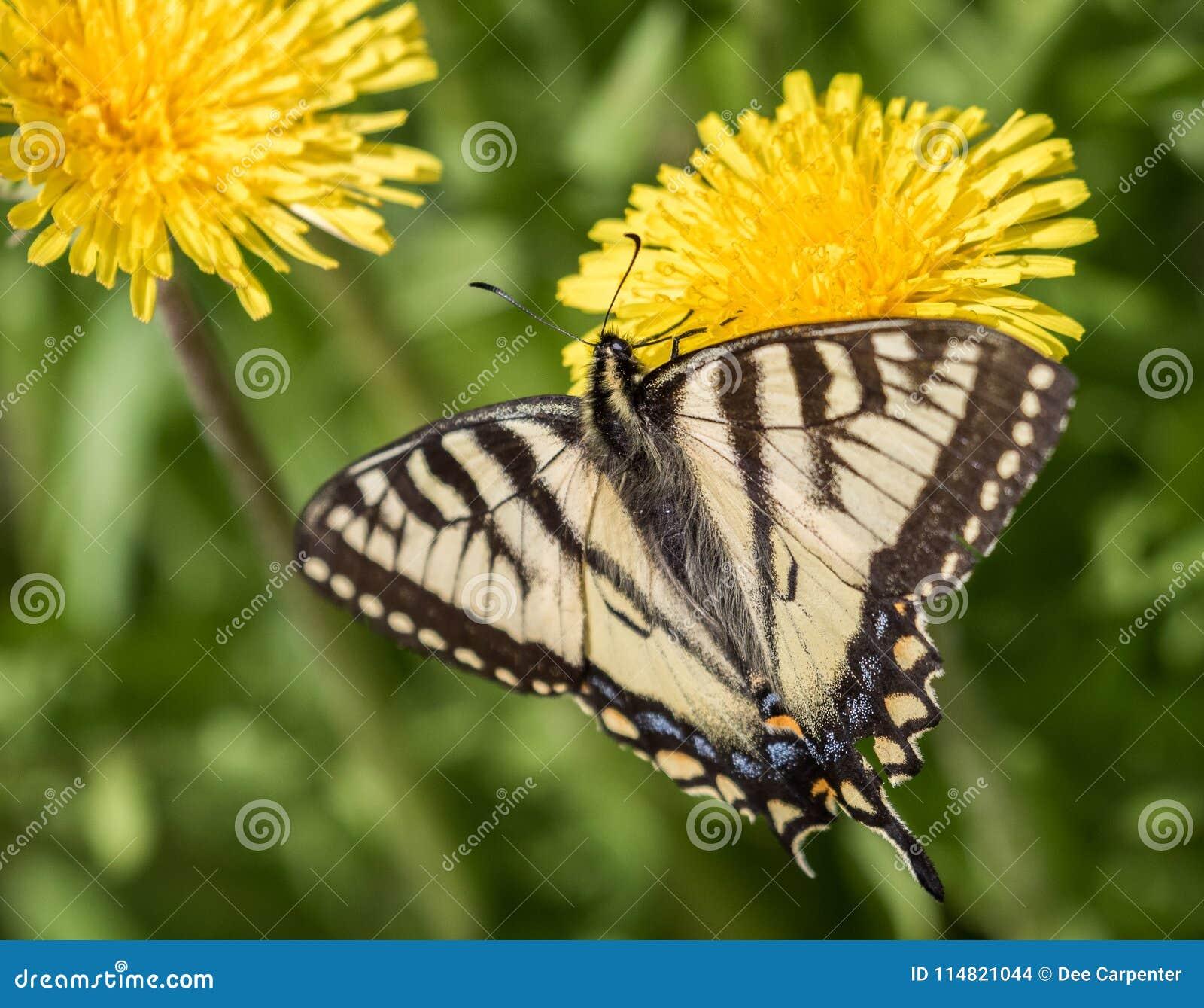 Borboleta amarela de Swallowtail