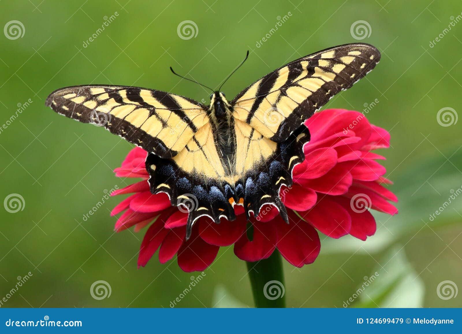 Borboleta amarela de Swallowtail no jardim