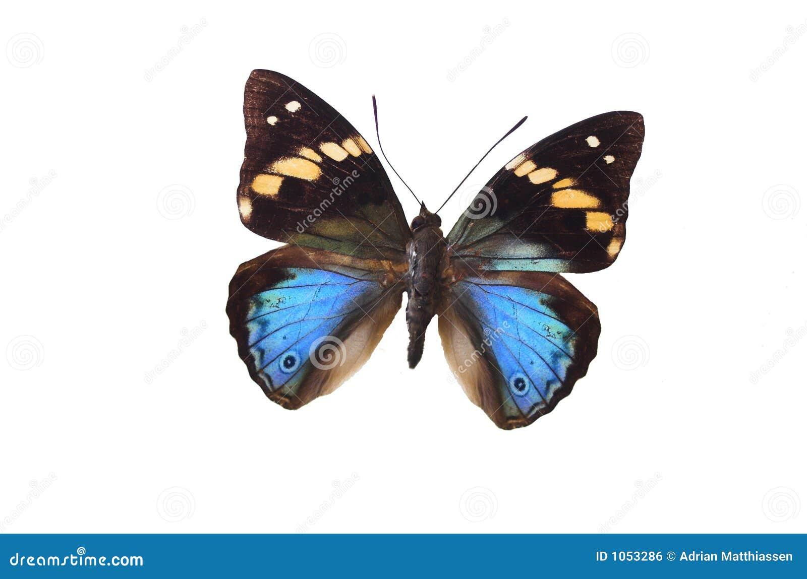 A borboleta azul 15