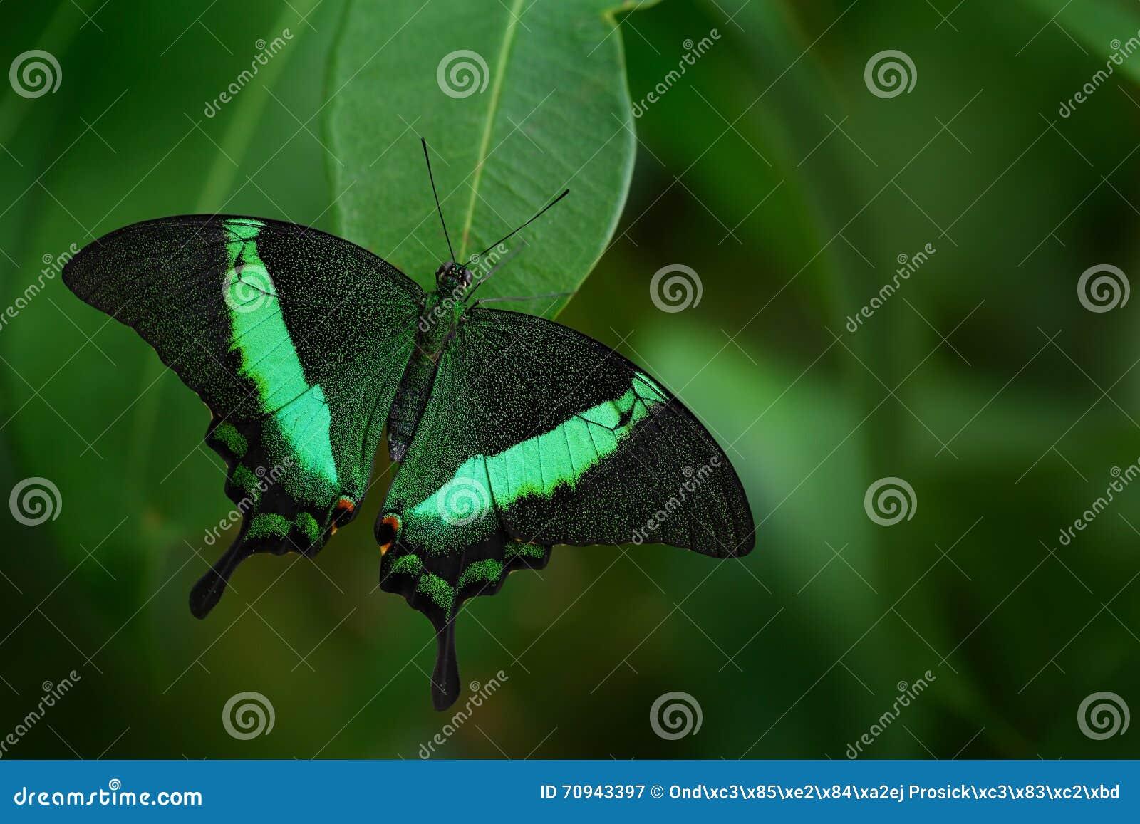 Borboleta bonita Borboleta verde do swallowtail, palinurus de Papilio Inseto no habitat da natureza Borboleta que senta-se no ver