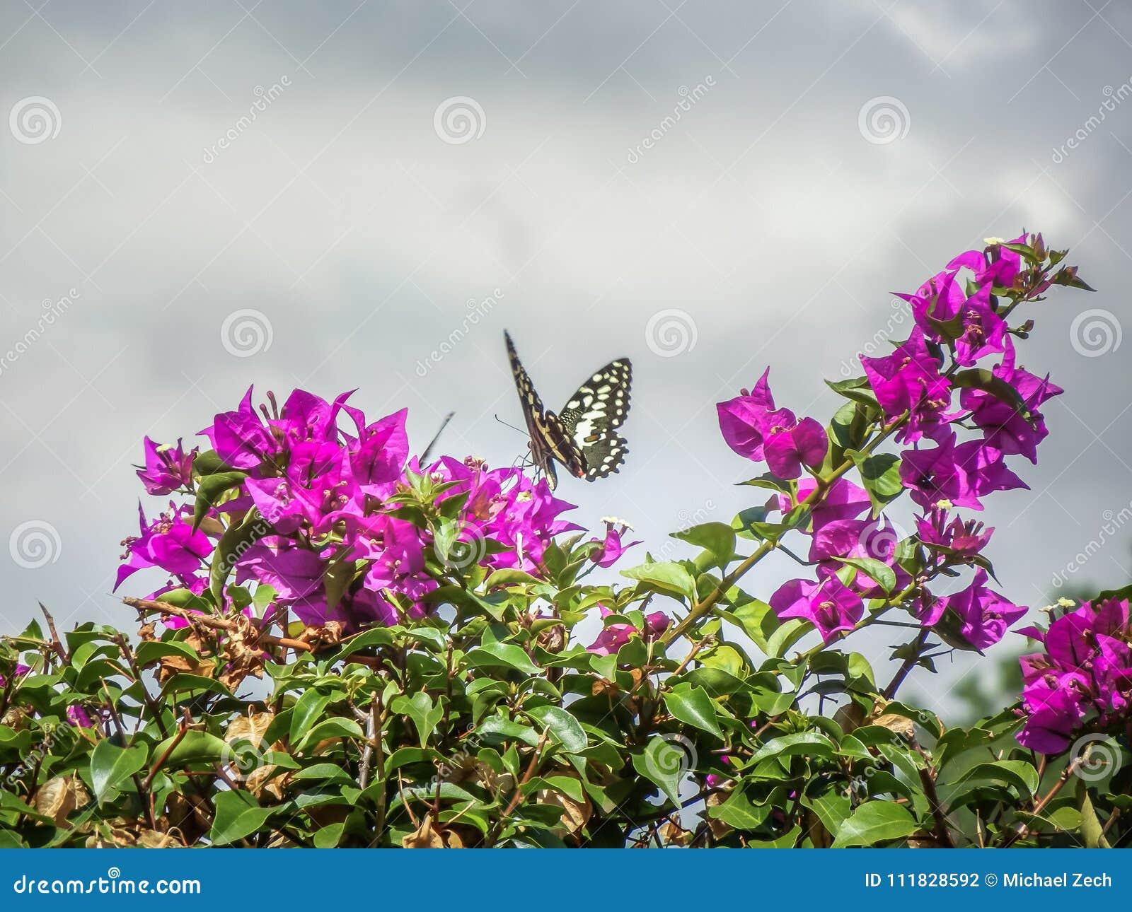 Borboleta bonita do dem do papilio do swallowtail do citrino de Tanzânia