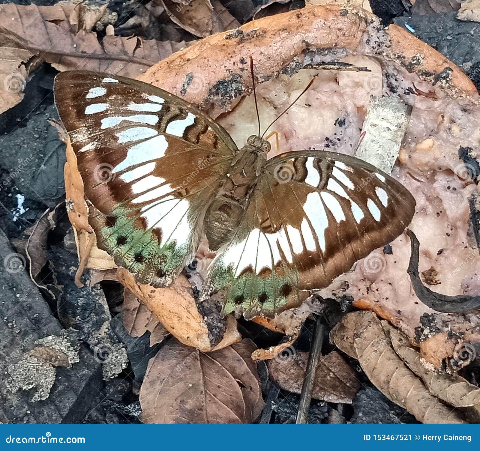 A borboleta branca, verde, bronzeia em fruto quebrado