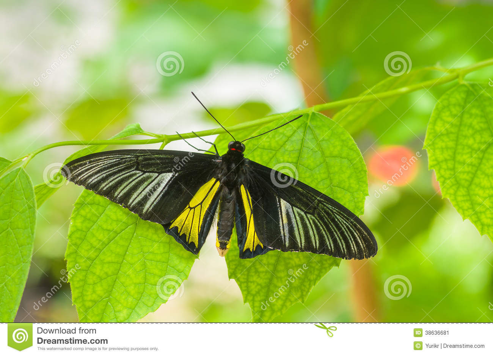 Borboleta comum bonita de Birdwing