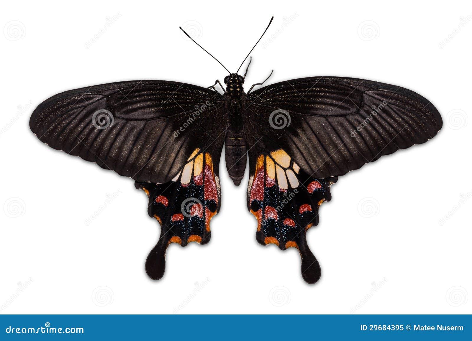 Borboleta comum do Mormon da fêmea (romulus dos polytes de Papilio)