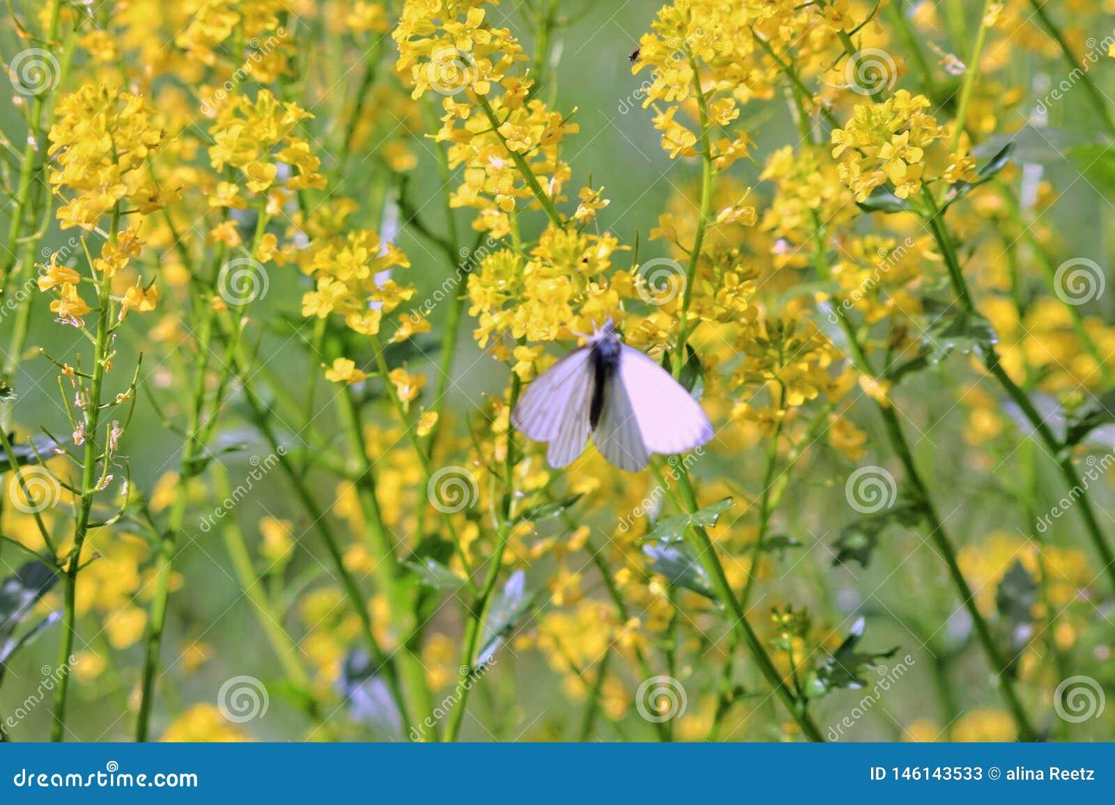 A borboleta cor-de-rosa senta-se em flores amarelas