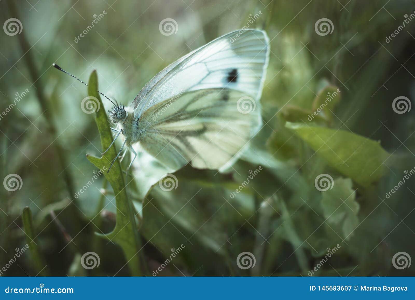 A borboleta de couve branca senta-se em uma folha do dente-de-leão em um fundo borrado verde Rapae do Pieris do Pieridae da fam?l