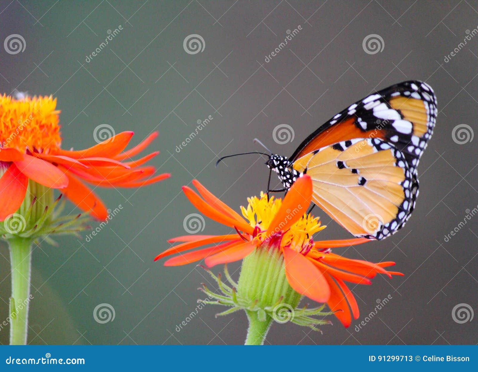 Borboleta de monarca africana em uma flor