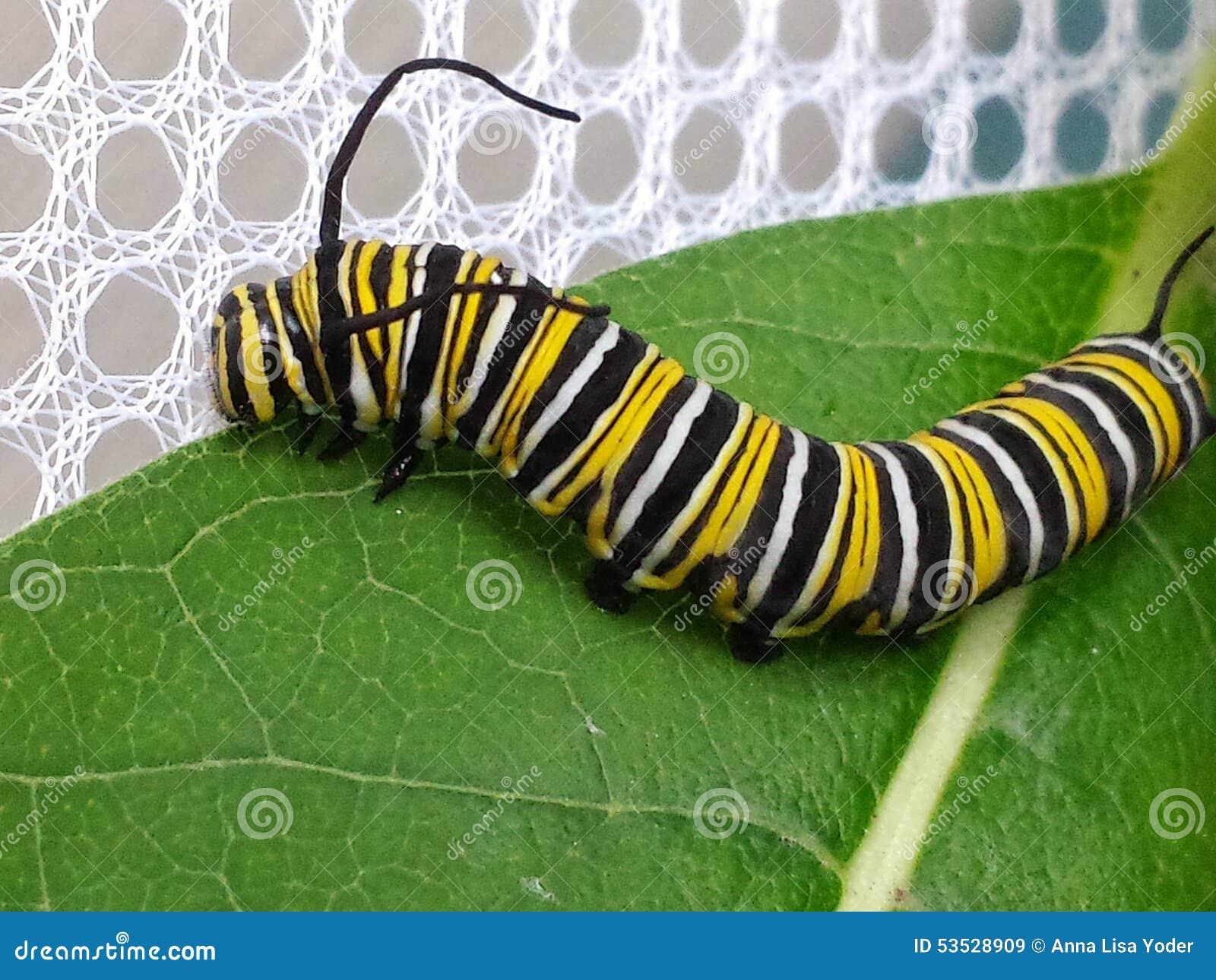 A borboleta de monarca Caterpillar no Milkweed folheia