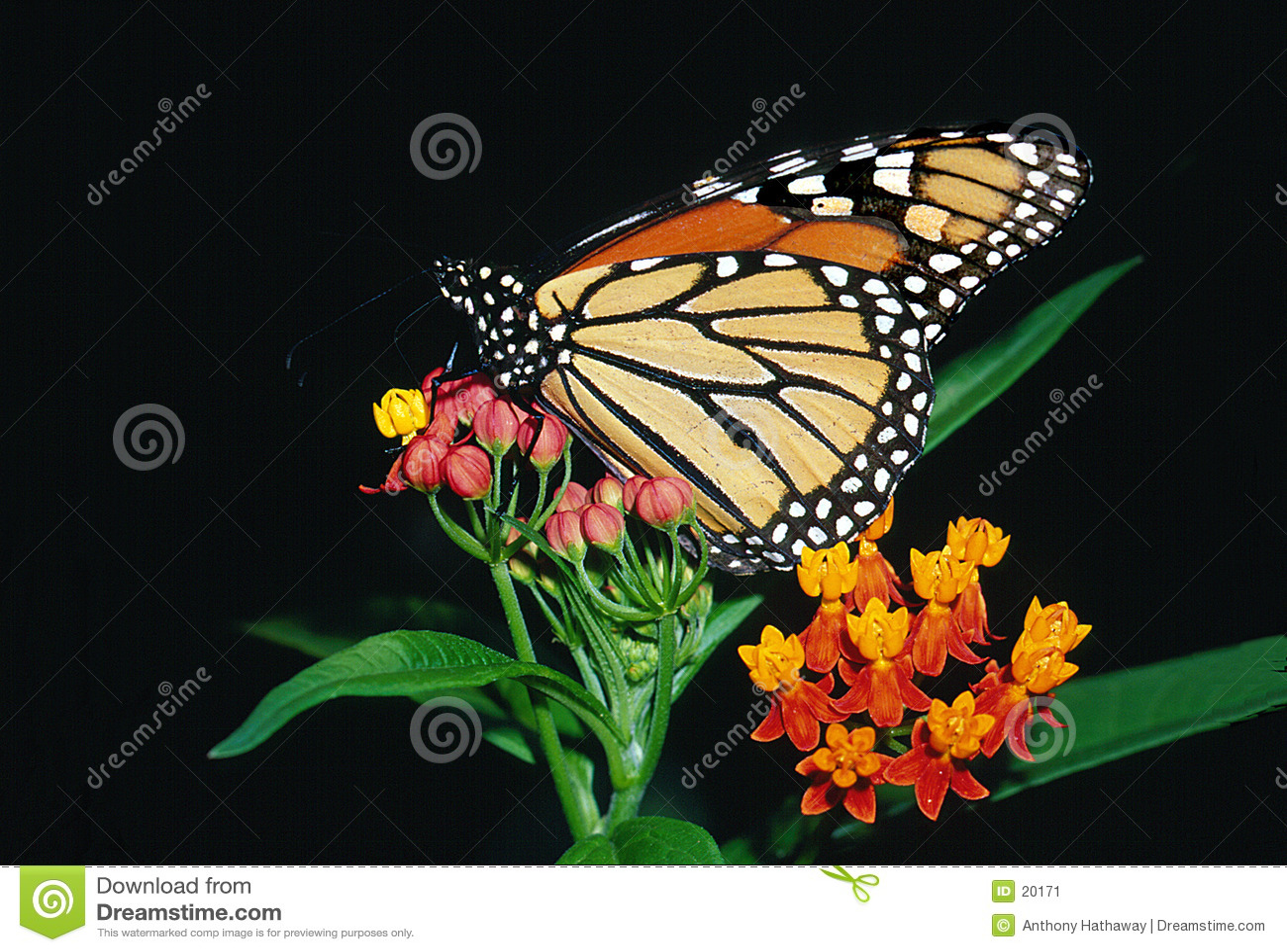 Borboleta de monarca em Bloodflower
