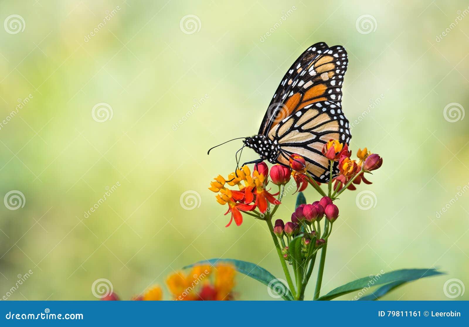 Borboleta de monarca em flores tropicais do milkweed