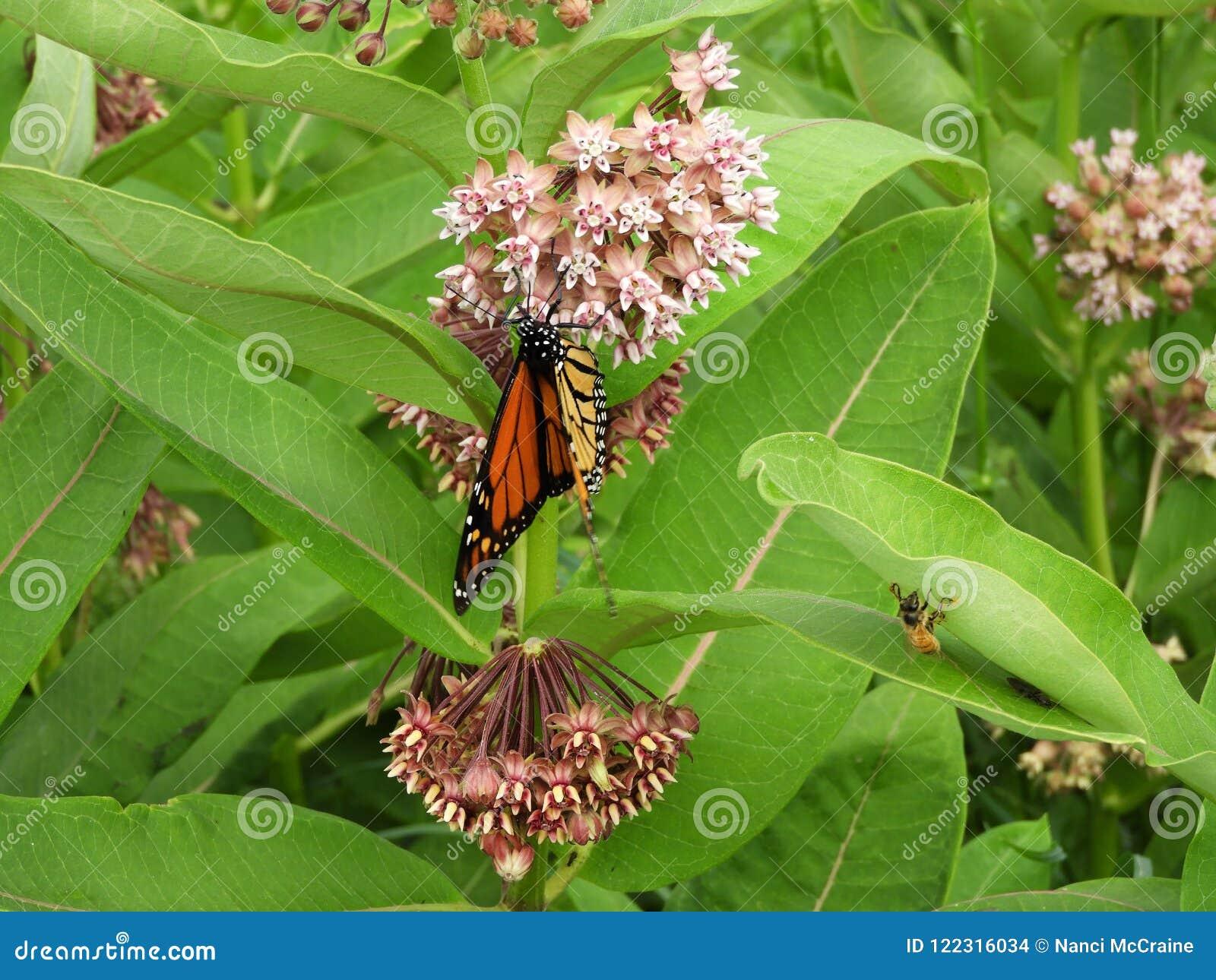 Borboleta de monarca na flor cor-de-rosa perfumada do Milkweed