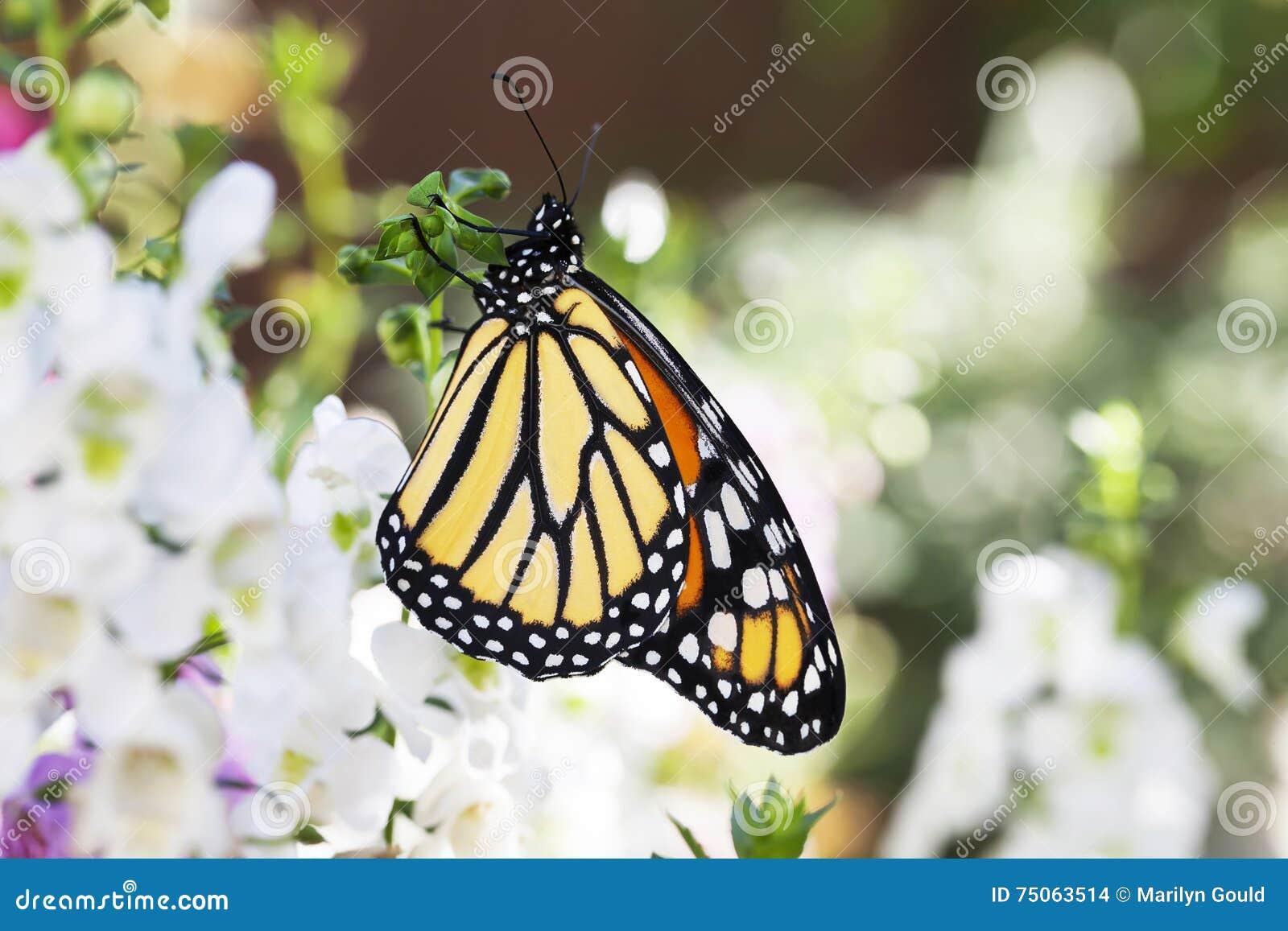 Borboleta de monarca no jardim 3