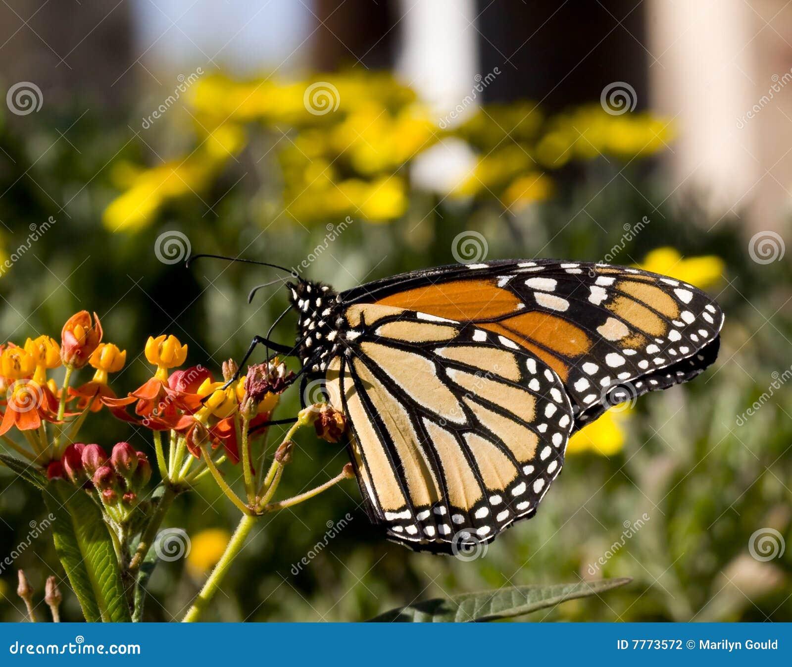 Borboleta de monarca no Milkweed