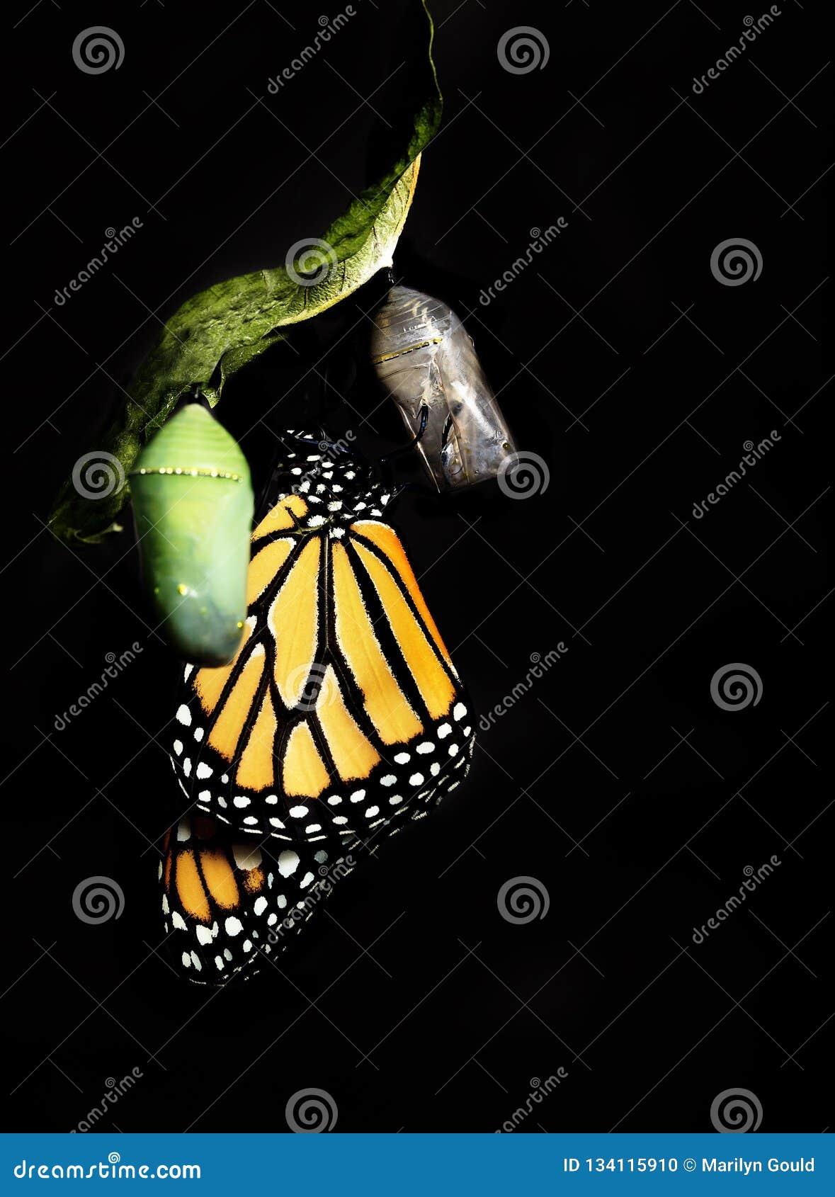 Borboleta de monarca que adere-se para esvaziar a crisálida
