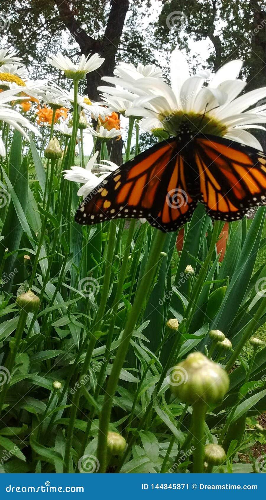 Borboleta de monarca que descansa em daisys