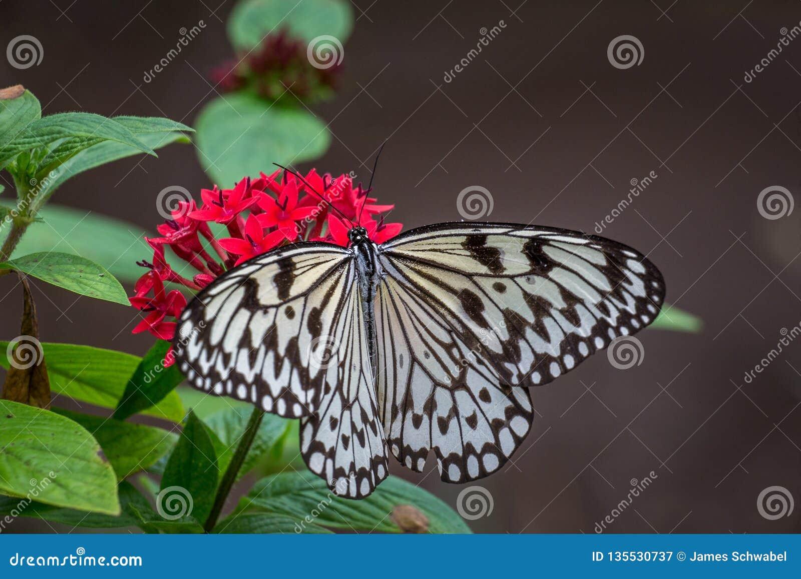 Borboleta de papel do papagaio em flores vermelhas