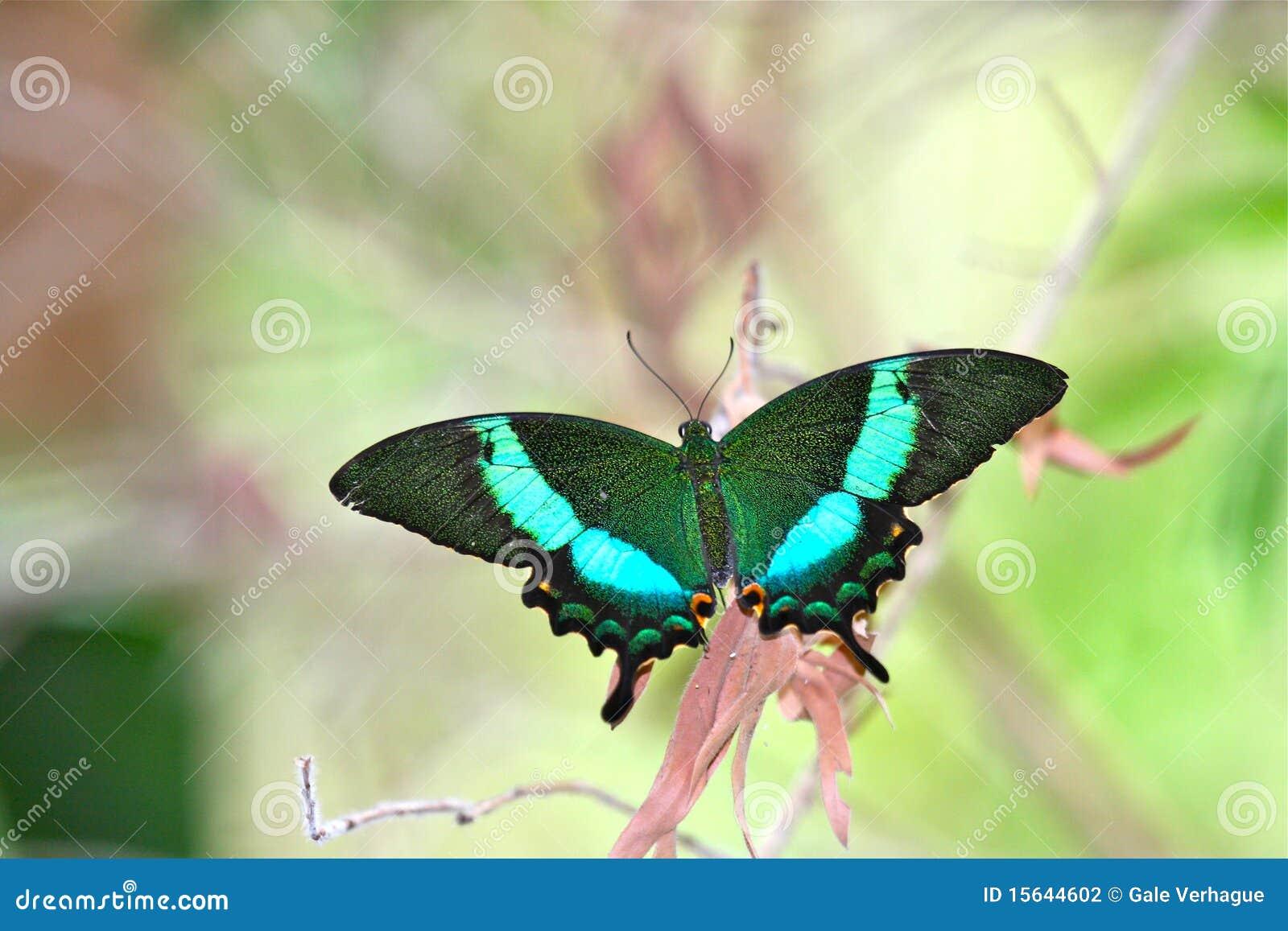 Borboleta de Swallowtail da esmeralda
