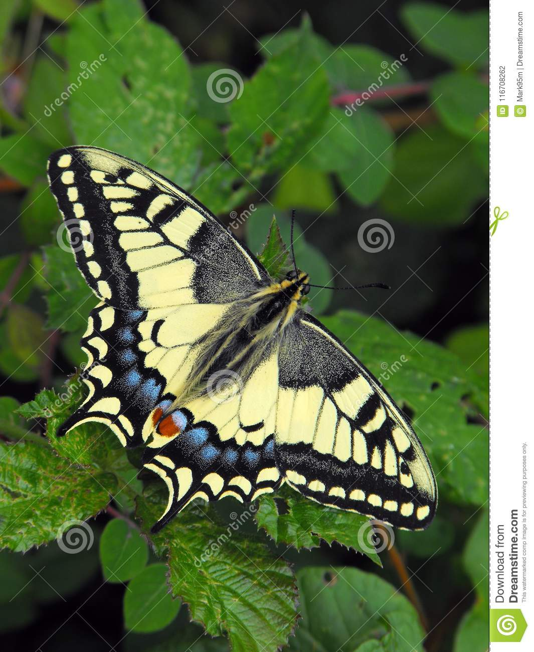Borboleta de Swallowtail do europeu