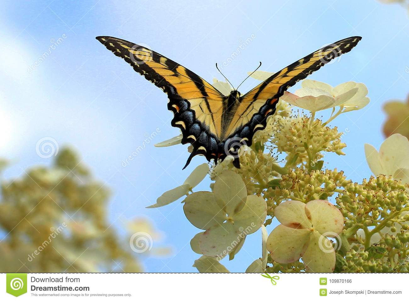 Borboleta de Swallowtail do tigre