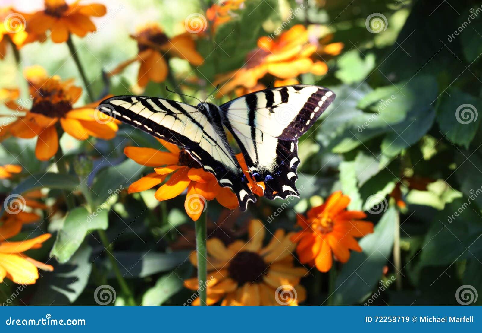 Borboleta de Swallowtail em flores do jardim