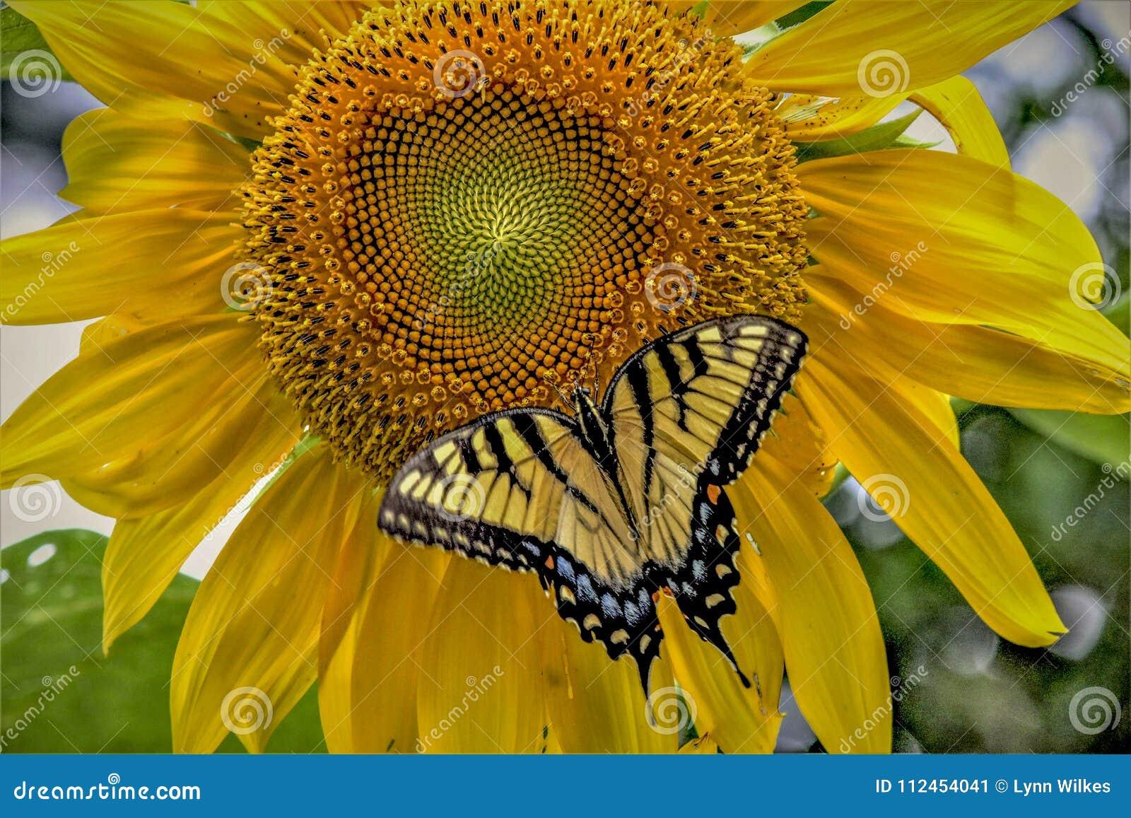 Borboleta de Swallowtail em um girassol