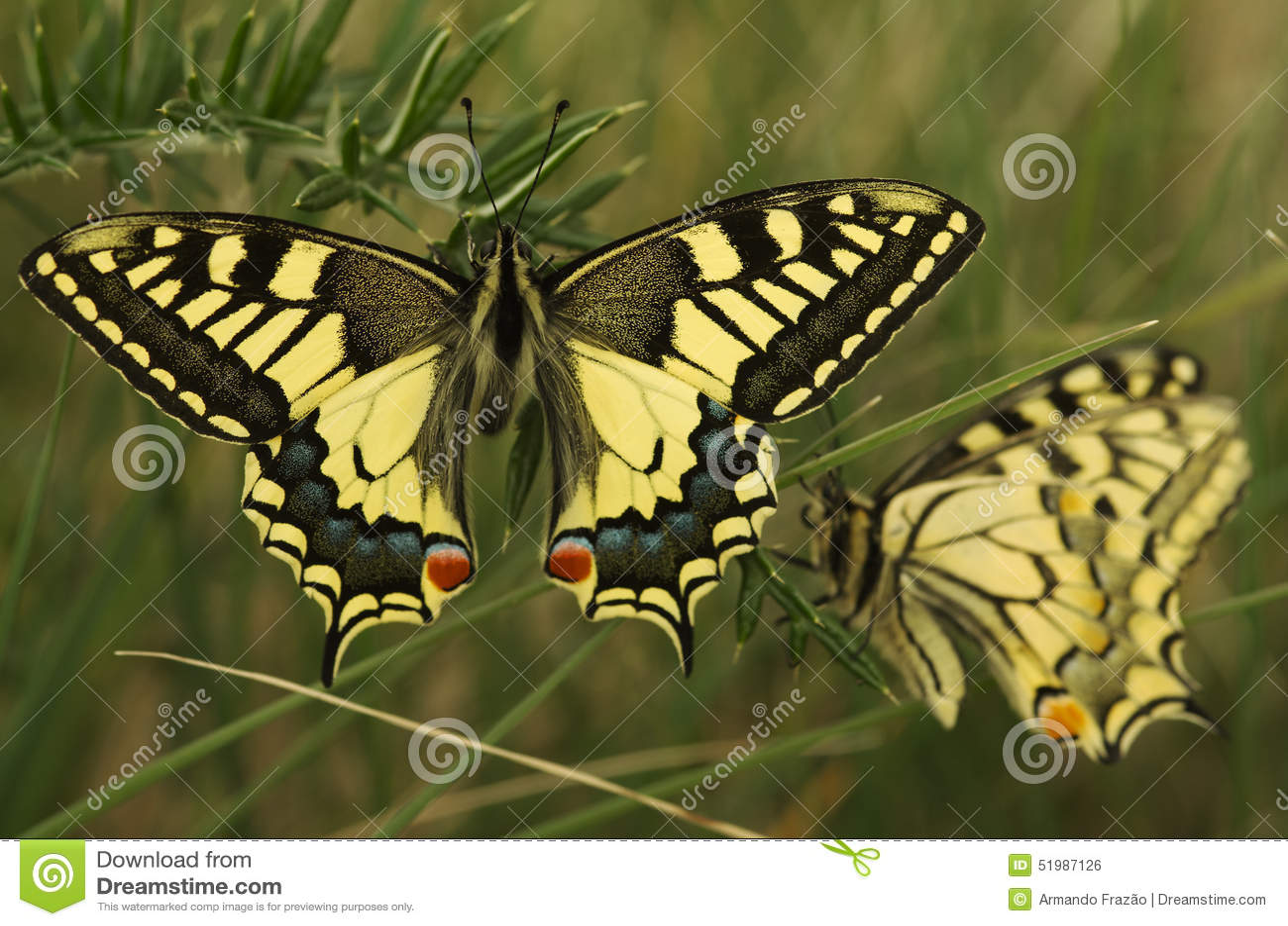 Borboleta de Swallowtail, machaon de Papilio