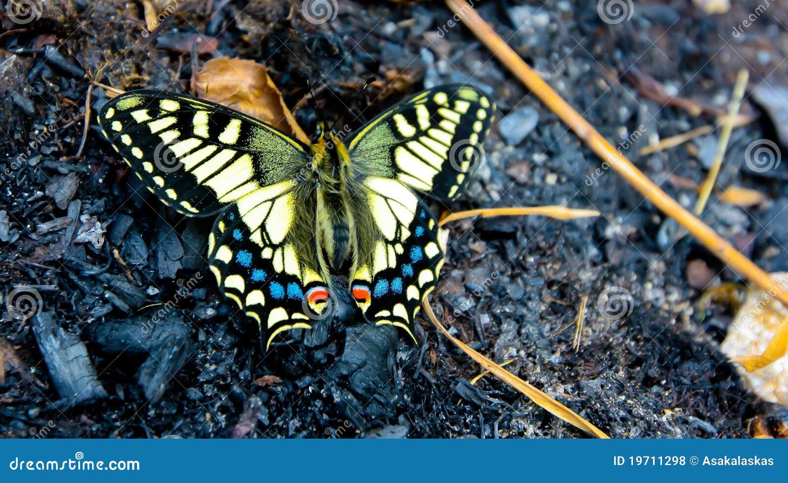 Borboleta de Swallowtail na mola