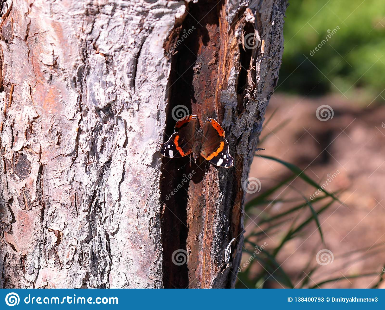 Borboleta do almirante vermelho que senta-se em uma árvore com as asas largamente abertas
