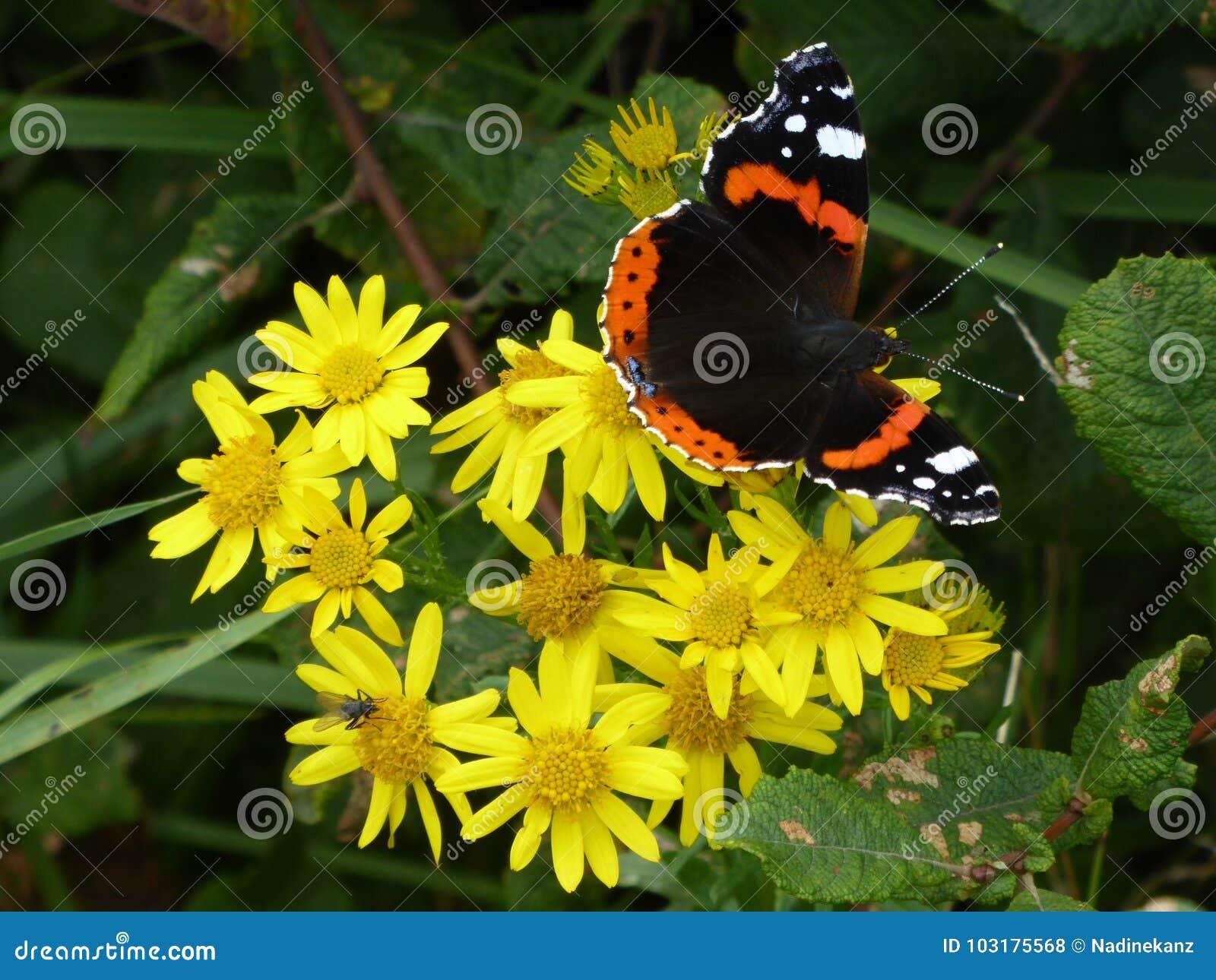 Borboleta do close up na borboleta comum do tigre da flor