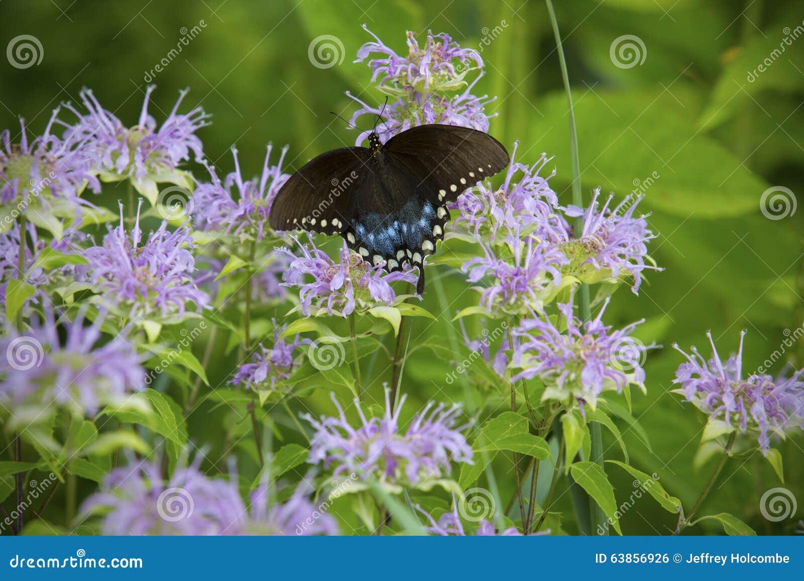 A borboleta do swallowtail de Spicebush na bergamota selvagem floresce, prado