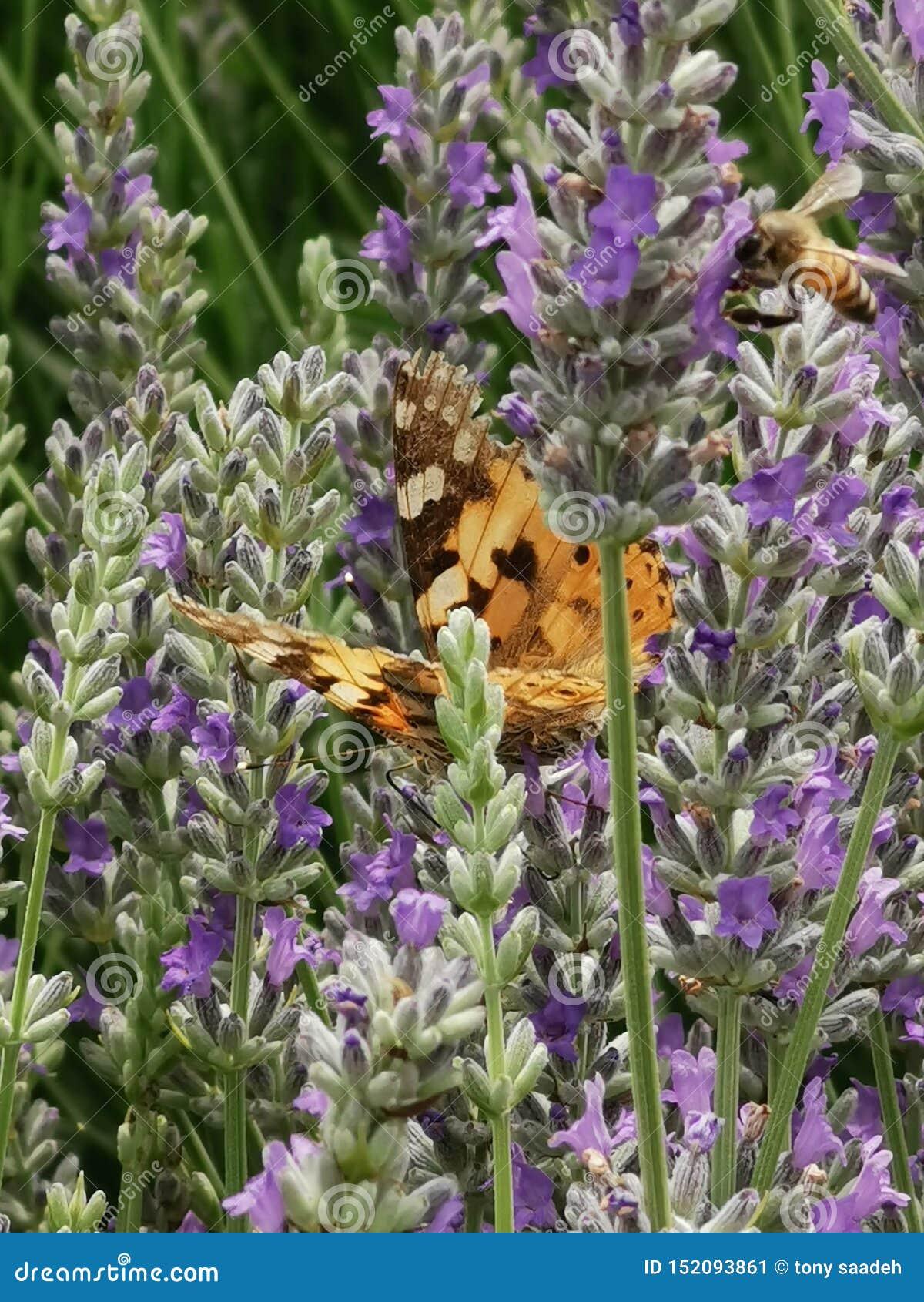 Borboleta e abelha que alimentam da alfazema
