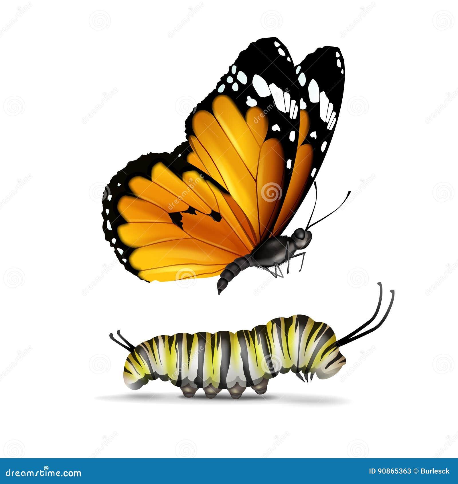 Borboleta e lagarta lisas do tigre