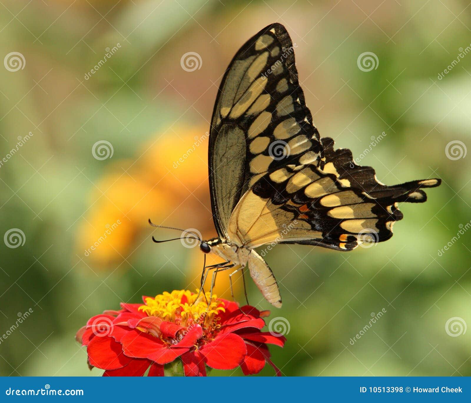 Borboleta gigante do swallowtail
