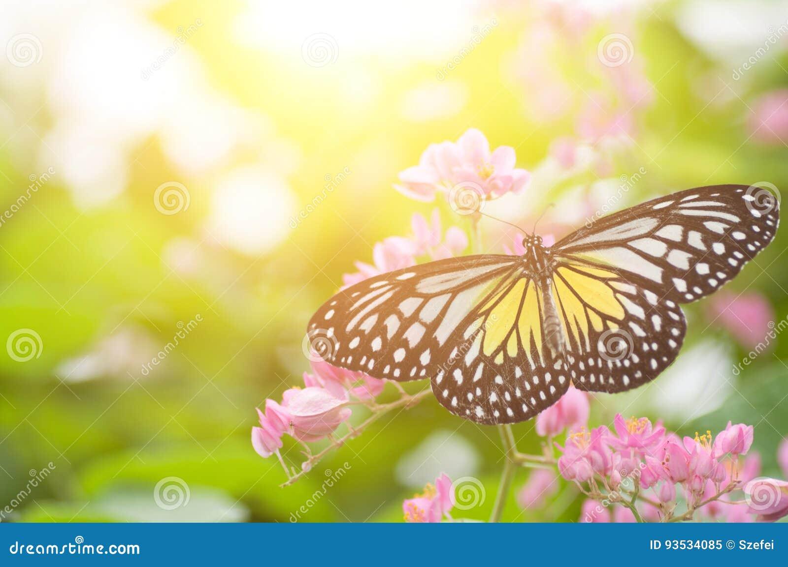 Borboleta glassy amarela do tigre