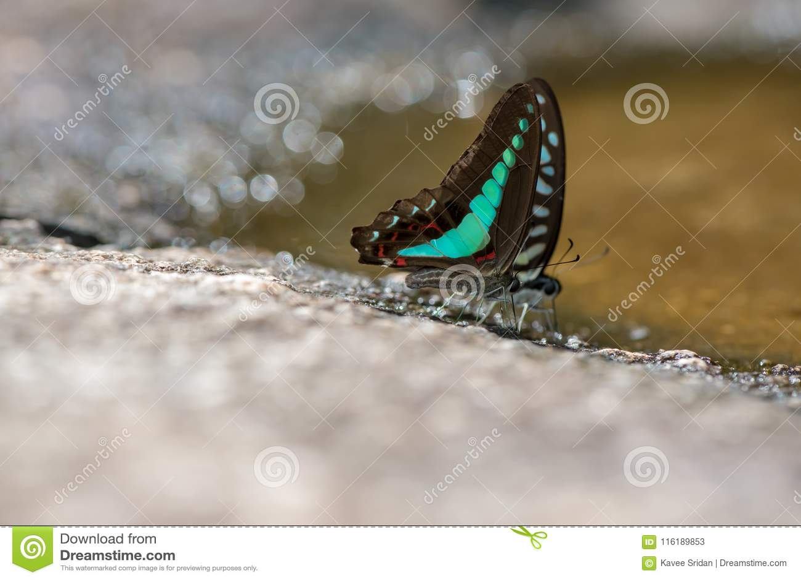 Borboleta Glassy azul do tigre